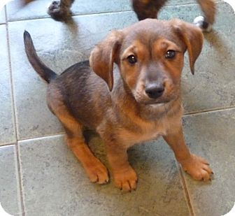 Fox Terrier (Wirehaired)/Hound (Unknown Type) Mix Puppy for adoption in Cranford, New Jersey - TIA