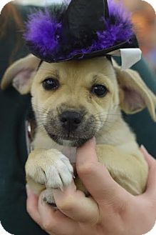 Chihuahua Mix Puppy for adoption in South Jersey, New Jersey - Shannen