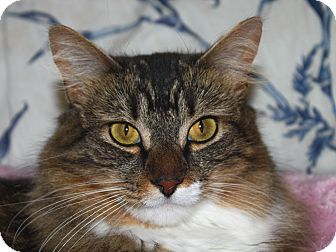 Maine Coon Cat for adoption in North Branford, Connecticut - Tiger Lily