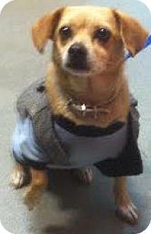 Chihuahua/Beagle Mix Dog for adoption in Westminster, California - Kula