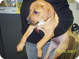 Retriever (Unknown Type) Mix Puppy for adoption in Greenville, North Carolina - Daisy