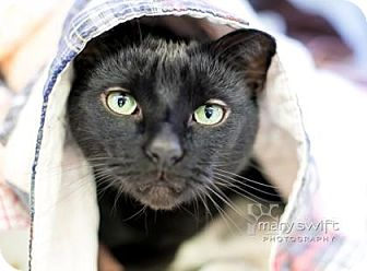 Domestic Shorthair Cat for adoption in Reisterstown, Maryland - Darth