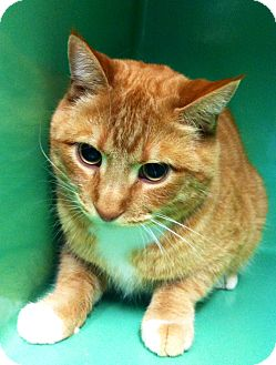 Domestic Shorthair Cat for adoption in Port Hope, Ontario - Charlie