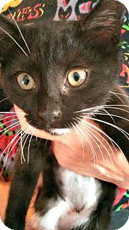 Domestic Shorthair Kitten for adoption in Toledo, Ohio - Flip