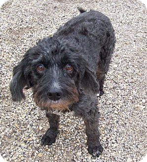 Poodle (Miniature)/Standard Schnauzer Mix Dog for adoption in Von Ormy, Texas - Valentine