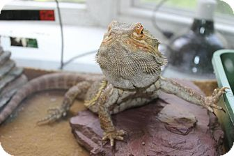 Lizard for adoption in Middle Island, New York - Jeb