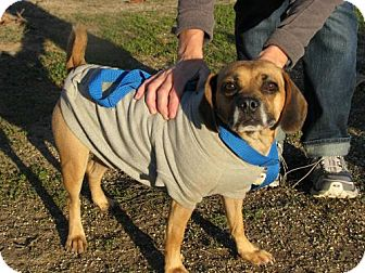 Pug/Terrier (Unknown Type, Medium) Mix Dog for adoption in Orland, California - Penny