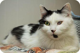 Domestic Shorthair Cat for adoption in Acushnet, Massachusetts - Minnie