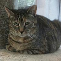 Domestic Shorthair Cat for adoption in Huntington, New York - Roslyn