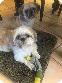 Shih Tzu Mix Dog for adoption in Los Angeles, California - CHATO & PENNY