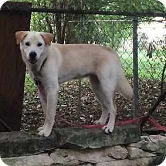 Labrador Retriever Mix Puppy for adoption in Austin, Texas - Wilma