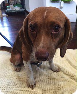 Beagle/English Springer Spaniel Mix Dog for adoption in Baltimore, Maryland - Sambo