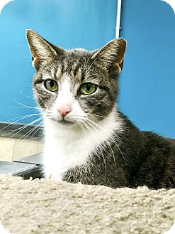 Domestic Shorthair Cat for adoption in Virginia Beach, Virginia - Lisa