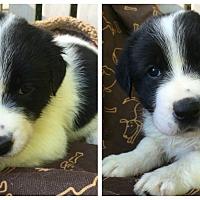 Adopt A Pet :: Blossom - Charlotte, NC