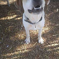 Adopt A Pet :: Thor - Foristell, MO