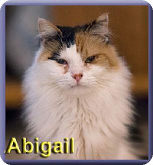 Norwegian Forest Cat Cat for adoption in Aldie, Virginia - Abigail