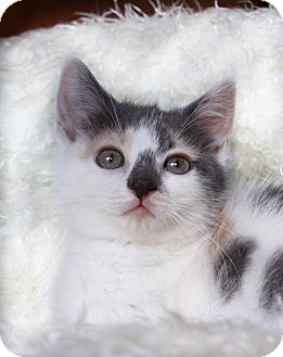 Calico Kitten for adoption in Wayne, New Jersey - Tempest