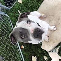Adopt A Pet :: Dillon - Crestline, CA