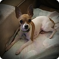 Adopt A Pet :: Daisy - Dallas, TX