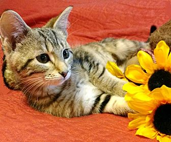 Domestic Shorthair Kitten for adoption in East Hartford, Connecticut - Mimi in Ct
