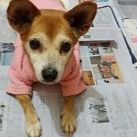 Adopt A Pet :: Shiba - Oakton, VA