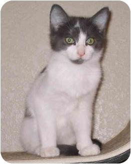 Domestic Shorthair Kitten for adoption in Sacramento, California - Kelso