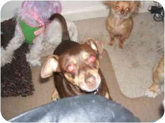 Chihuahua/Miniature Pinscher Mix Dog for adoption in SCOTTSDALE, Arizona - TITO