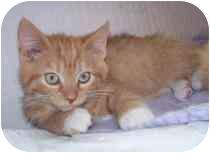 Domestic Mediumhair Kitten for adoption in Marietta, Georgia - Theodore