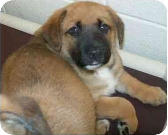German Shepherd Dog/Boxer Mix Puppy for adoption in Spruce Pine, North Carolina - Draden