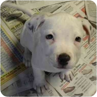 American Bulldog Mix Puppy for adoption in Hammonton, New Jersey - Shadow