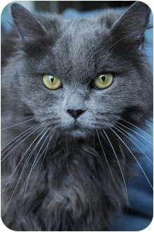 Persian Cat for adoption in Columbus, Ohio - Tara