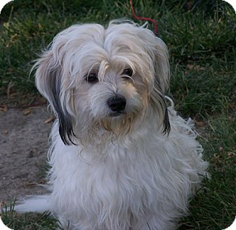 Lhasa Apso/Poodle (Miniature) Mix Dog for adoption in Owatonna, Minnesota - Joey
