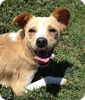 Italian Greyhound/Chihuahua Mix Dog for adoption in San Marcos, California - Kayla