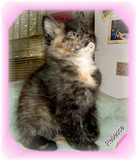 Domestic Mediumhair Kitten for adoption in Ozark, Alabama - Rebecca