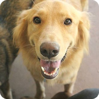 Golden Retriever/Border Collie Mix Dog for adoption in Astoria, New York - Rubert