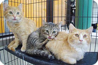 Domestic Shorthair Kitten for adoption in Elyria, Ohio - Guss