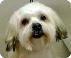 Coton de Tulear Mix Puppy for adoption in Fort Worth, Texas - RAMSEY