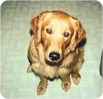 Golden Retriever Dog for adoption in Bourg, Louisiana - Sophie