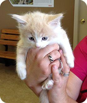 Domestic Mediumhair Kitten for adoption in Troy, Ohio - Pasadena