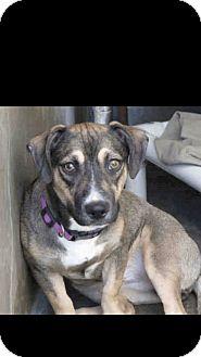Beagle/Corgi Mix Dog for adoption in Norfolk, Virginia - Bella