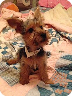 Yorkie, Yorkshire Terrier Puppy for adoption in Fairview Heights, Illinois - Jacob
