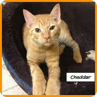 Domestic Shorthair Cat for adoption in Miami, Florida - Cheddar