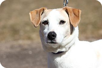 Jack Russell Terrier Dog for adoption in Midland, Michigan - Nestor