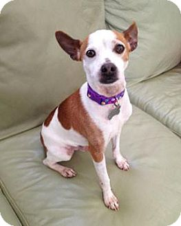 Rat Terrier Dog for adoption in Ripley, West Virginia - Ringo