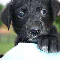 Adopt A Pet :: Blue - Knoxville, TN