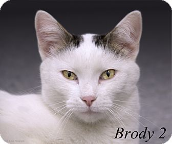 Domestic Shorthair Cat for adoption in Martinsville, Indiana - Brody 2