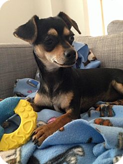 Chihuahua Mix Puppy for adoption in Hamilton, Ontario - Cove