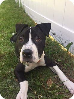 Pit Bull Terrier Mix Dog for adoption in Rockaway, New Jersey - Remy