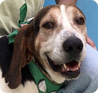 Treeing Walker Coonhound Mix Dog for adoption in Evansville, Indiana - Eeyore