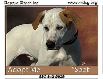 Hound (Unknown Type)/Labrador Retriever Mix Dog for adoption in Yreka, California - Spot